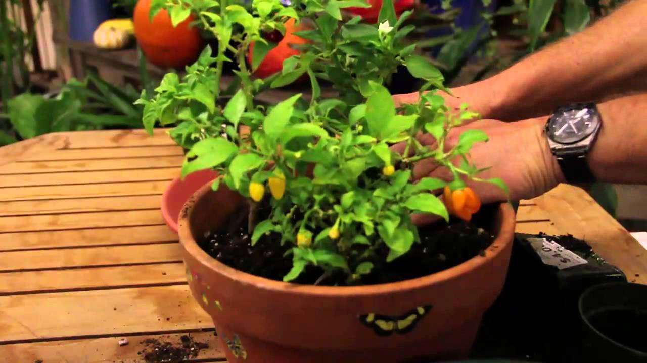 Why need to prefer plant pepper in indoor gardening?